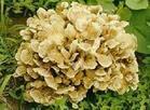长期灰树花