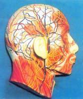 人體解剖模型|人體頸部淺層神經血管、示淺層M及皮層N模型 GD-0305M