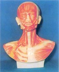 人體解剖模型|頭、面、頸部解剖和頸外動腦配置模型 GD-0305N