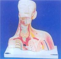 人體解剖模型|顱腔及頭頸胸局部解剖模型 GD-0305X
