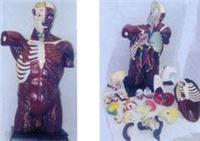 人體解剖模型|人體肌肉附內臟上等軀干解剖編碼模型 GD-0200301