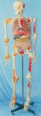 人體解剖模型|168CM肌肉著色、關節韌帶、內臟等人體骨骼模型 GD-0102C051