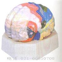 醫學教學模型|大腦皮質分區模型 GD/A18206