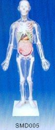 解剖模型|人體體表、人體骨骼與內臟關系模型 SMD005