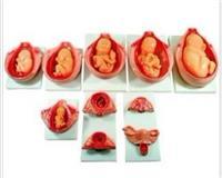 上海胎兒妊娠發育過程模型