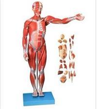 人體全身肌肉附內髒模型(縮小模型) GD/A11301/1