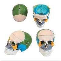 **頭顱骨骨性著色模型 GD/A11111/1