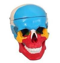 顱骨分離模型 GD/A11118