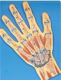 手關節剖面模型 GD/A11204
