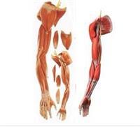 上肢肌肉附血管神經模型 GD/A11305