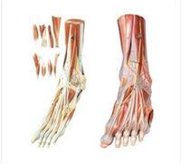 足肌附主要血管神經模型 GD/A11309