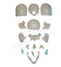 部分顱骨散骨模型 GD/A11117/2