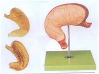 胃及剖麵模型 GD/A12002