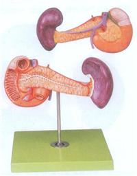 胰、十二指腸和脾模型  GD/A12004