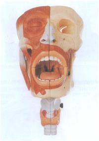 鼻、口、咽、喉腔模型 GD/A13001