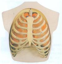 呼吸係統模型 GD/A13008