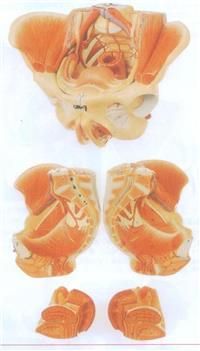 上等女性骨盆附生殖器官與血管神經模型 GD/A15107