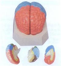 上等大腦分葉模型   GD/A18204