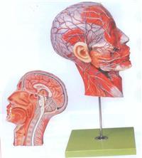 上等頭部正中矢狀切麵附血管神經模型 GD/A18210