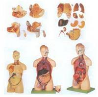 GD/A10002男性、女性外兩性互換人體頭頸軀幹模型 GD/A10002