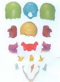 GD/A11117/1分離頭顱骨散骨模型 GD/A11117/1