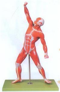 GD/A11202肩關節剖麵模型 GD/A11202