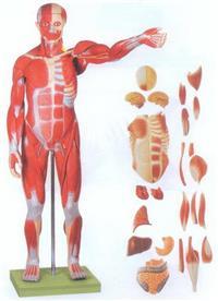 GD/A11301/1人體全身肌肉附內髒模型(縮小模型) GD/A11301/1