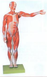 GD/A11302/2人體全身肌肉解剖模型(自然大) GD/A11302/2