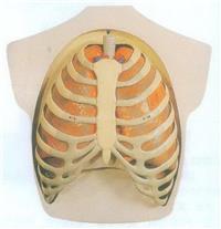 GD/A11308下肢肌肉附主要血管神經模型 GD/A11308