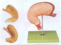 GD/A12002胃及剖麵模型 GD/A12002