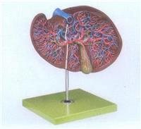 GD/A12009肝、膽囊放大模型 GD/A12009