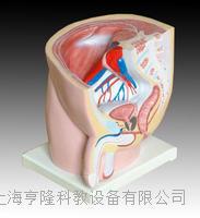 男性矢狀解剖1件 KAH/A331A