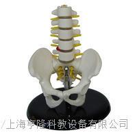 小型骨盆帶五節腰椎模型 KAH/A115A