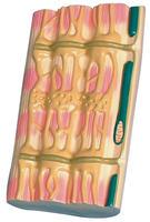 骨骼肌超微結構 KAH5036