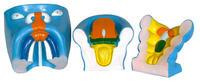 口腔、鼻及舌的發生(3部件) KAH5024