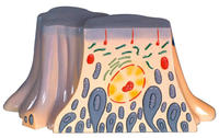 腎髒近曲小臂上皮細胞的超微結構 KAH5048