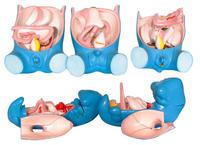 消化、呼吸、泌尿、生殖、體腔發生(5部件) KAH5022