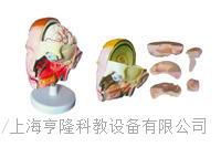 頭解剖附腦模型(6部件) KAH2117-10