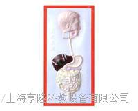 消化係統浮雕模型 KAH2079-4