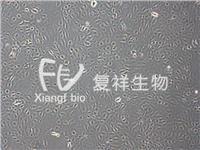 IEC-18 大鼠回肠细胞 CRL-1589