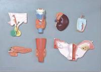 人體內分泌器官模型 YIM/19002