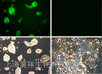 美国Oct4-GFP报告基因小鼠胚胎干细胞 PCEMM08