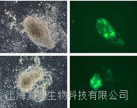 美国MEFs Oct4-GFP报告基因小鼠胚胎成纤维细胞 PCEMM03