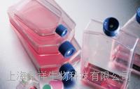 人脐静脉血管内皮细胞 HUVEC